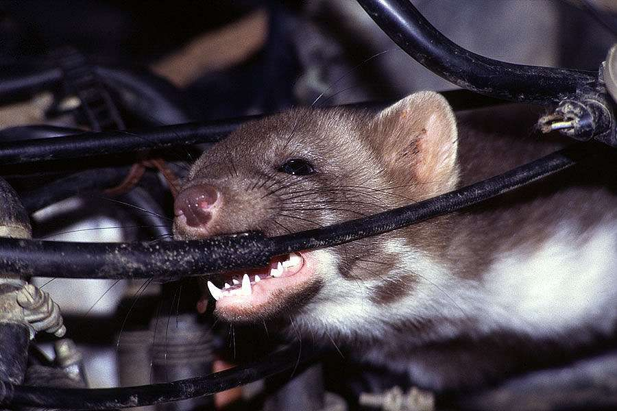 mouse chewing vehicle wire